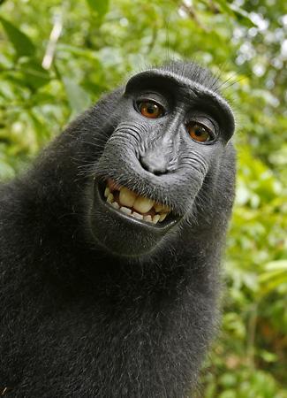 Naruto, selfie della scimmia - monkey selfie